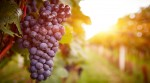 Weingut Domhof - Rotweintrauben